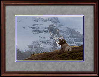 Signed Photographs - Bighorn Sheep